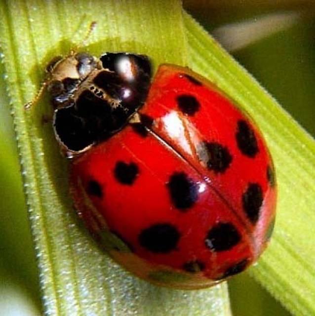 Nice wallpapers Ladybug 638x640px