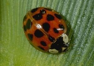 300x210 > Ladybug Wallpapers