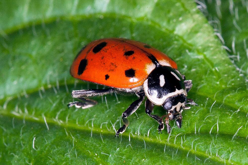HD Quality Wallpaper | Collection: Animal, 1000x667 Ladybug