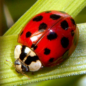 Nice Images Collection: Ladybug Desktop Wallpapers