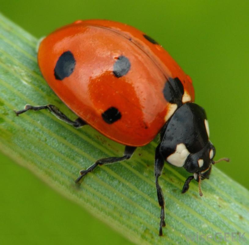 Amazing Ladybug Pictures & Backgrounds