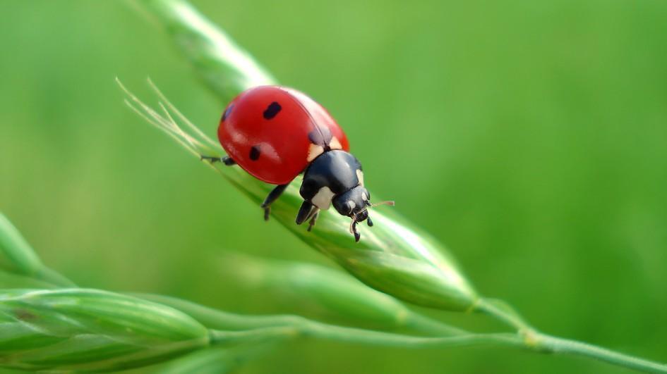 Ladybug Pics, Animal Collection