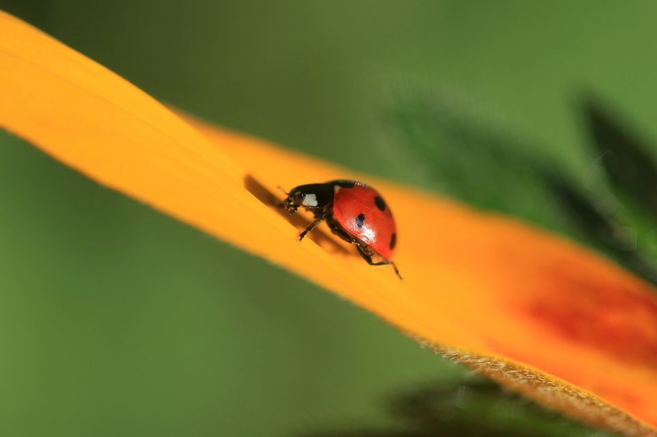 960x639 > Ladybug Wallpapers