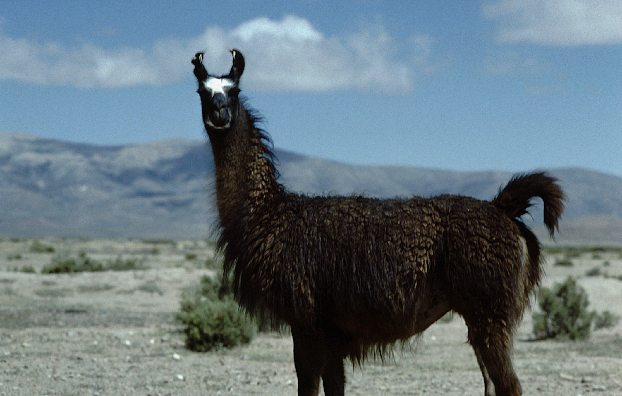 Lama High Quality Background on Wallpapers Vista