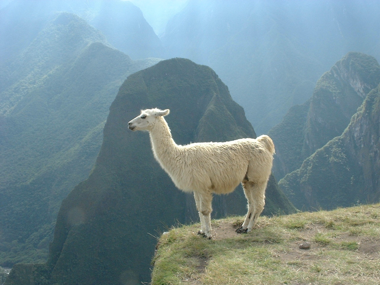 Nice Images Collection: Lama Desktop Wallpapers