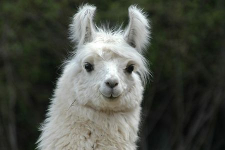 Lama Backgrounds on Wallpapers Vista