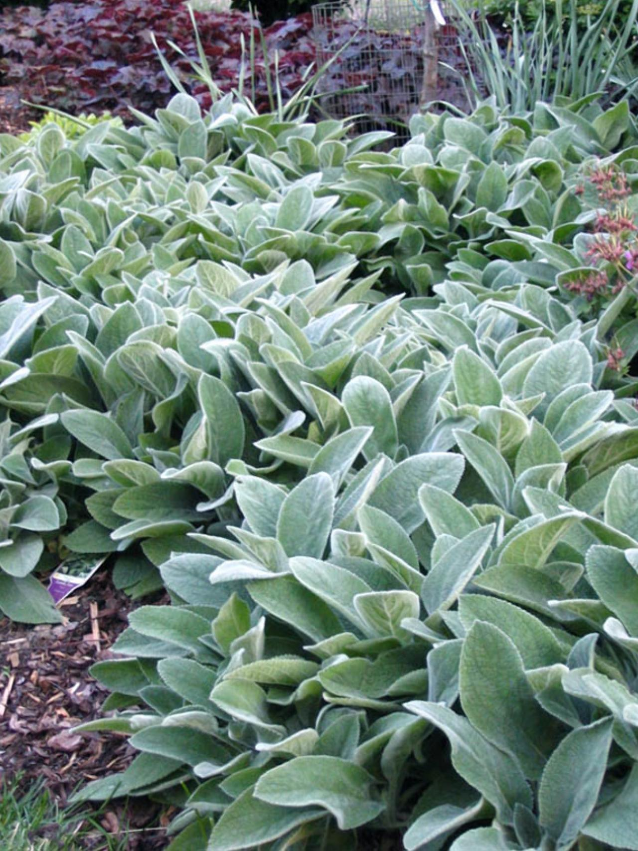 Lamb's Ear High Quality Background on Wallpapers Vista