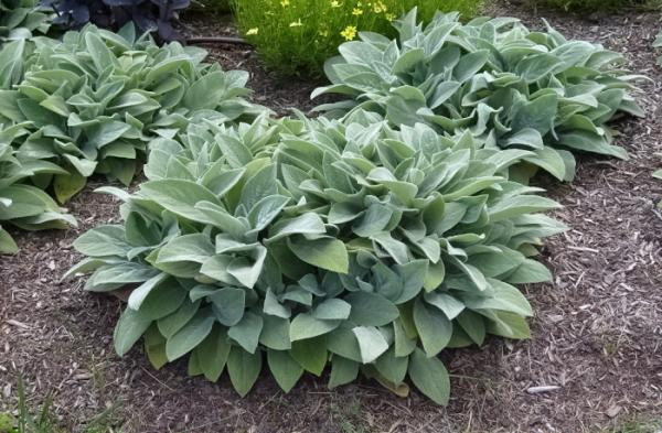 Nice wallpapers Lamb's Ear 600x393px