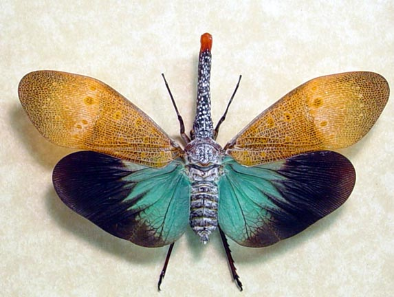 Lantern Fly Pics, Animal Collection