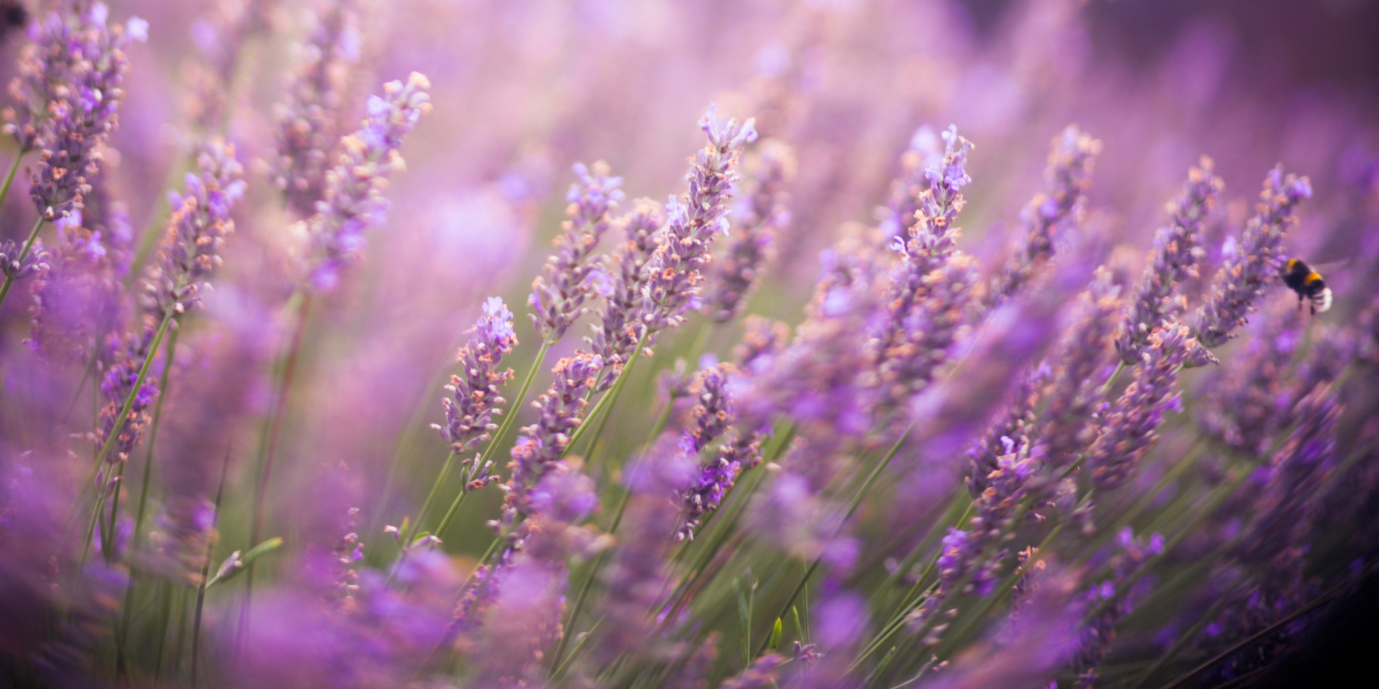 Images of Lavender   2000x1000