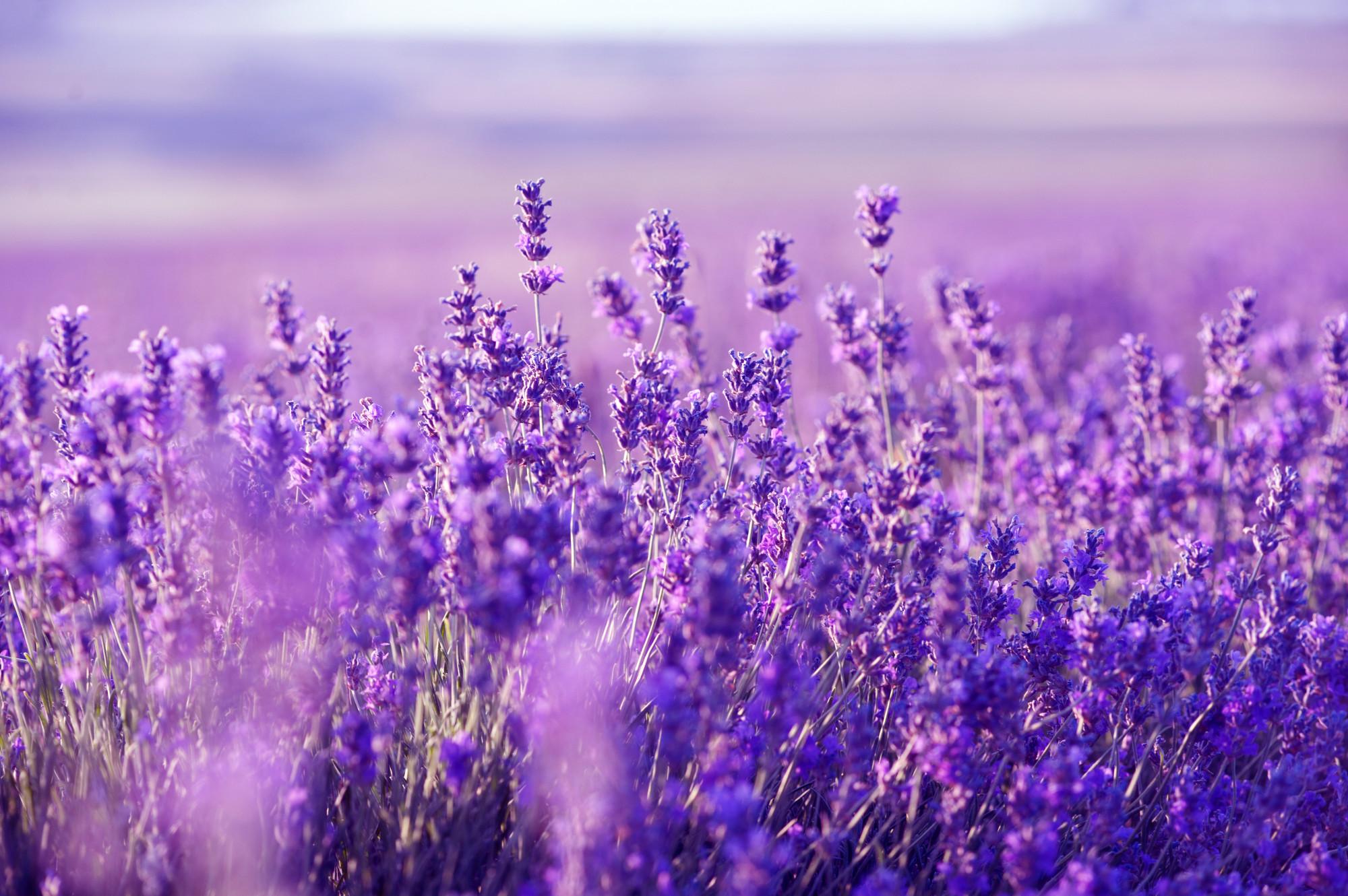 HQ Lavender Wallpapers   File 717.43Kb