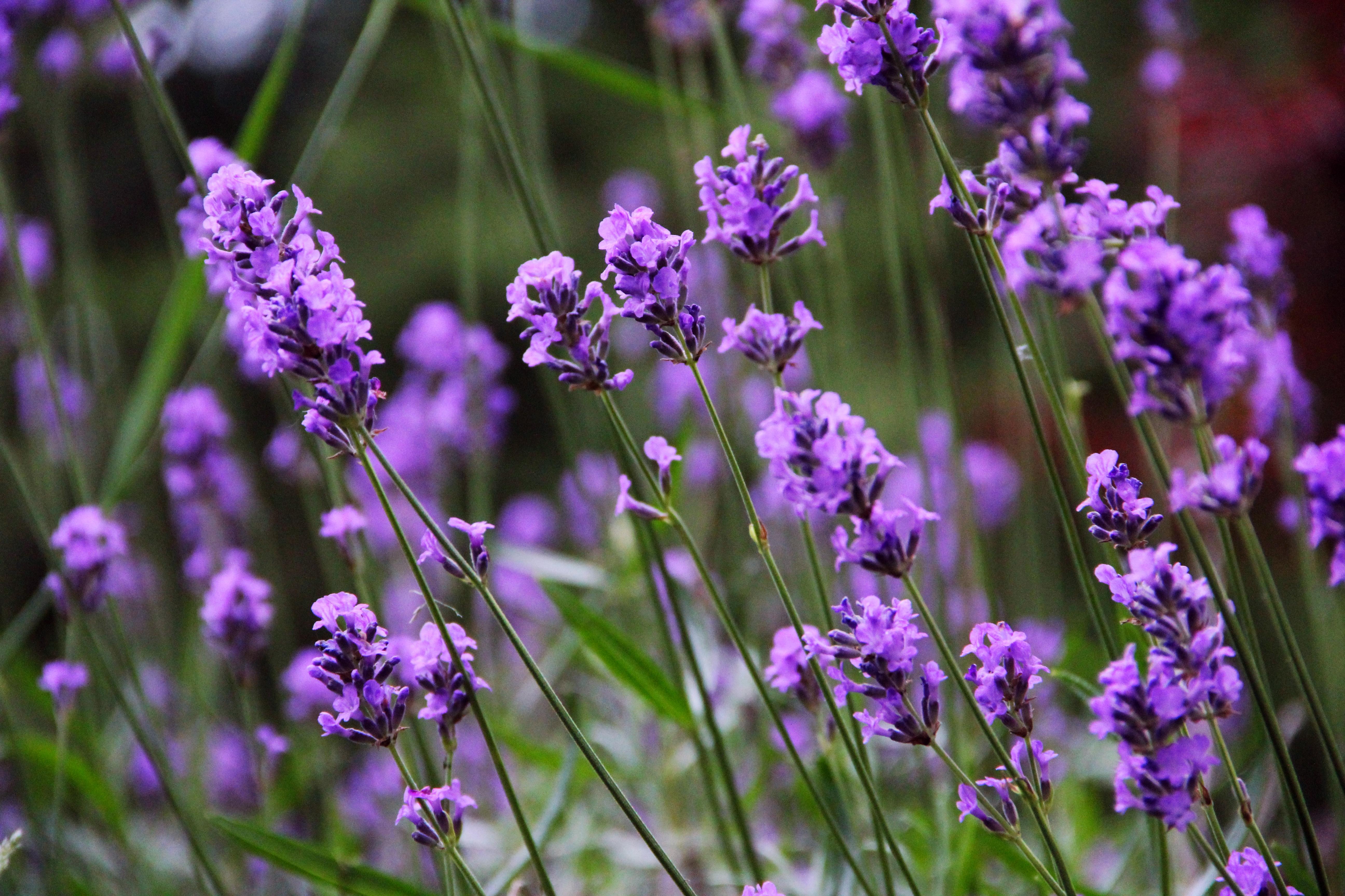 Nice Images Collection: Lavender Desktop Wallpapers