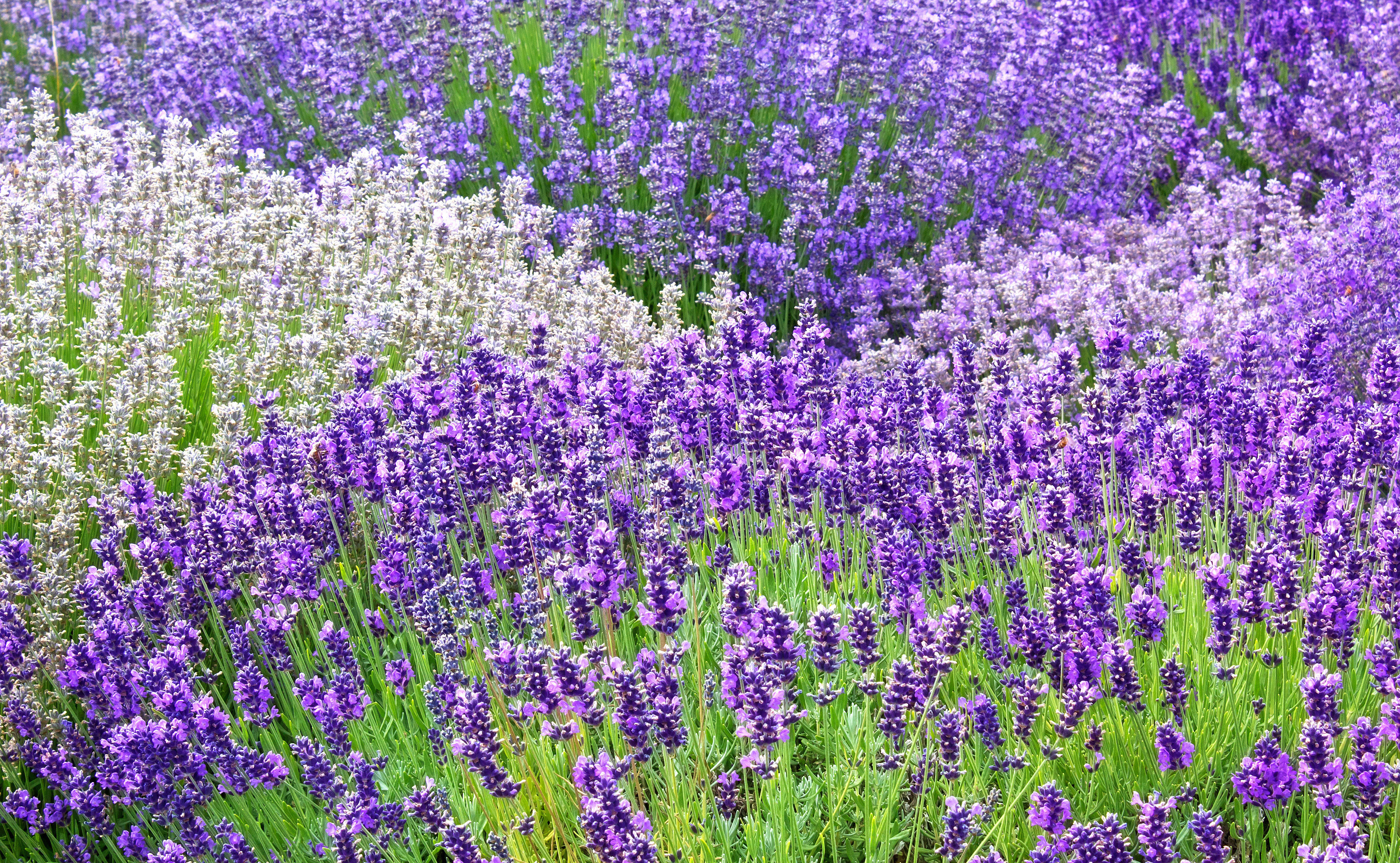 3895x2401 > Lavender Wallpapers