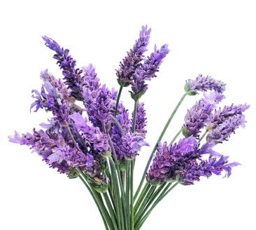 High Resolution Wallpaper   Lavender 366x328 px
