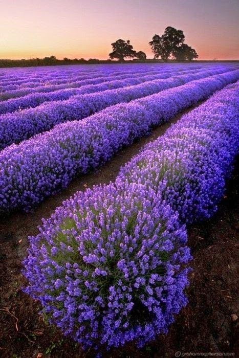 Amazing Lavender Pictures & Backgrounds