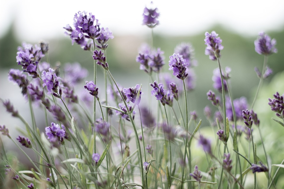 Lavender High Quality Background on Wallpapers Vista