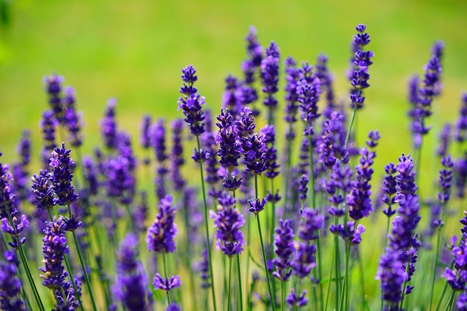 Lavender Backgrounds on Wallpapers Vista