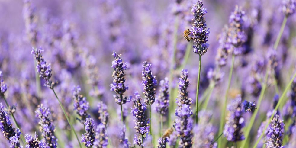Lavender Backgrounds, Compatible - PC, Mobile, Gadgets  980x490 px