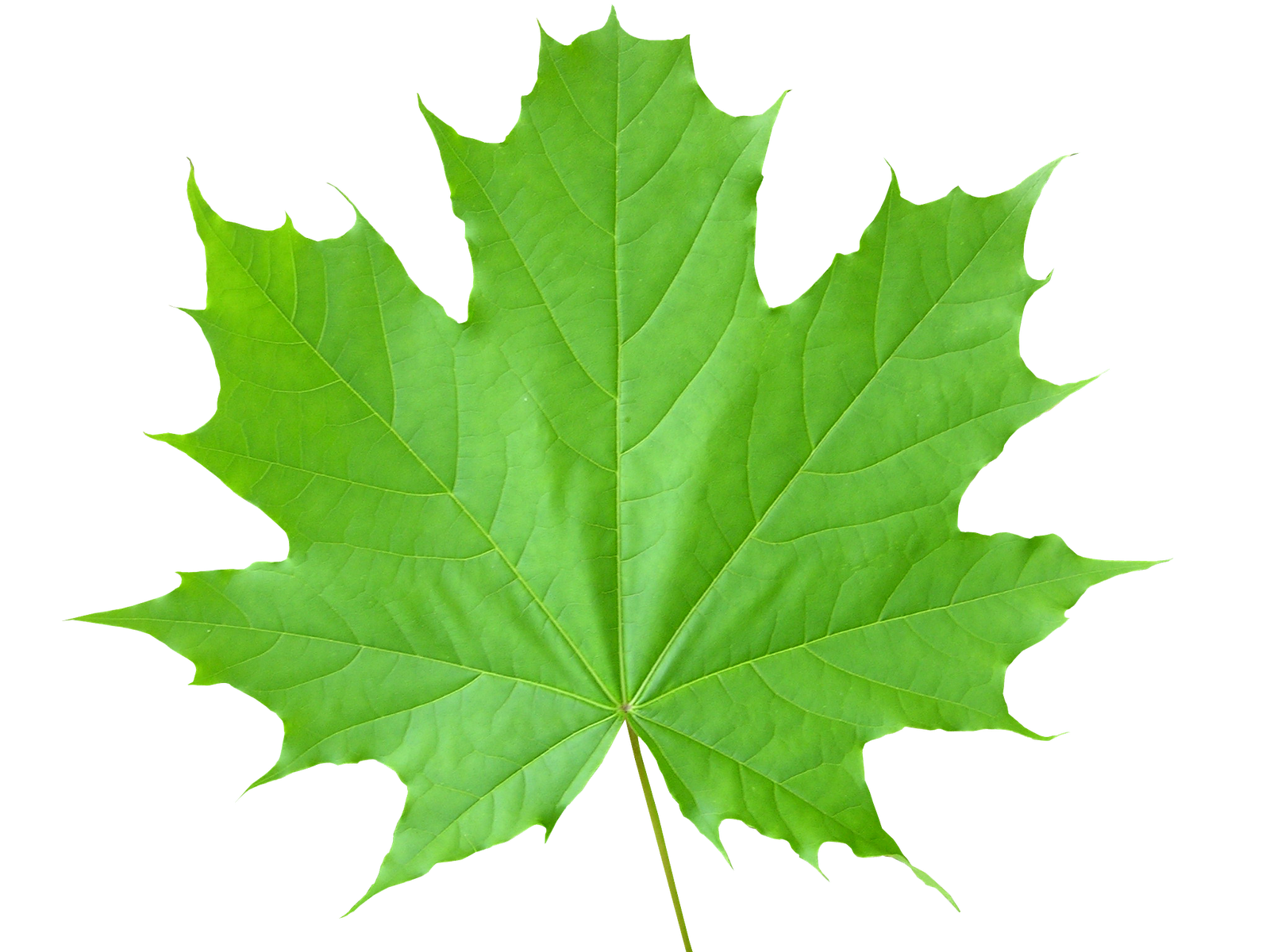 Leaf High Quality Background on Wallpapers Vista