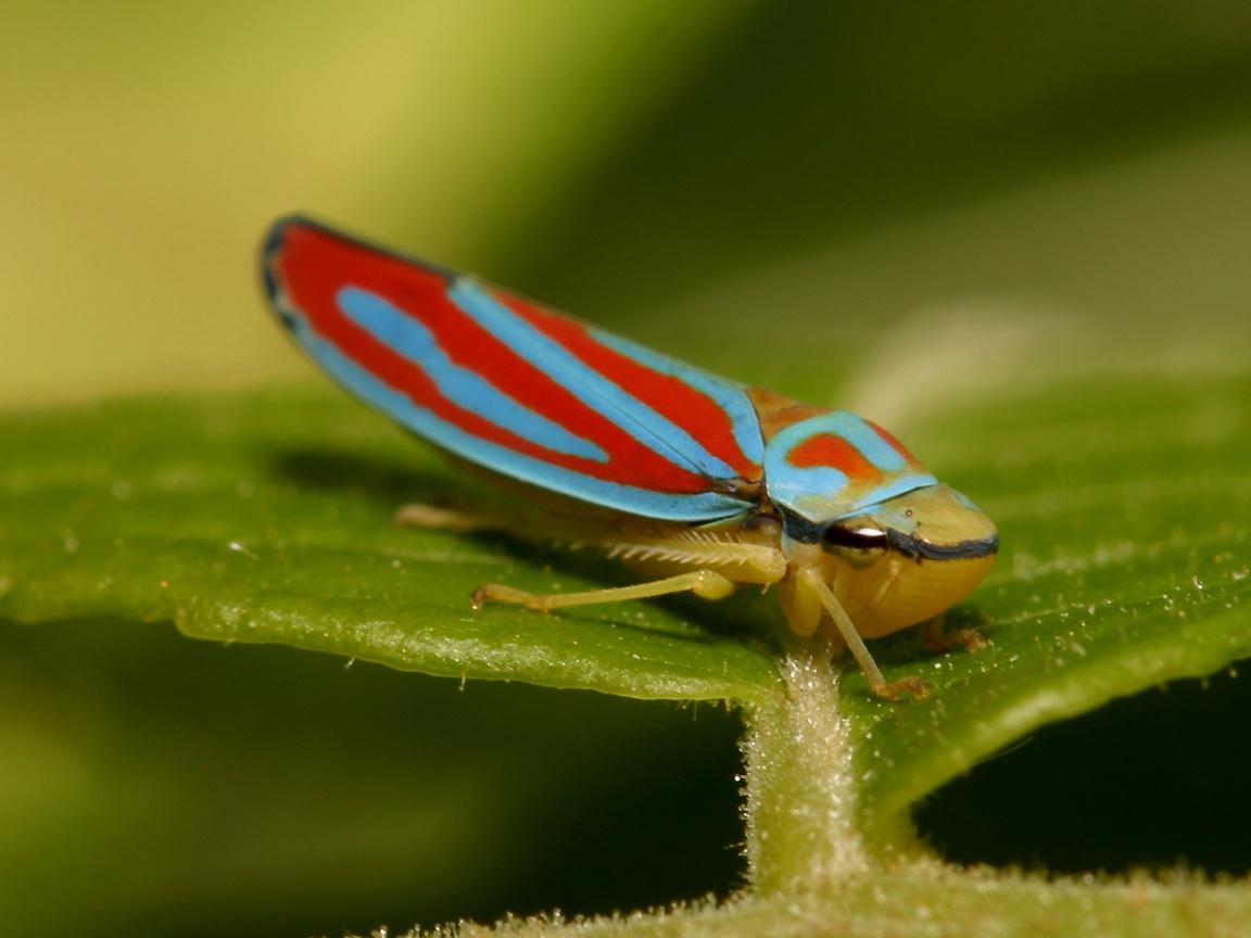 High Resolution Wallpaper   Leafhopper 1152x864 px