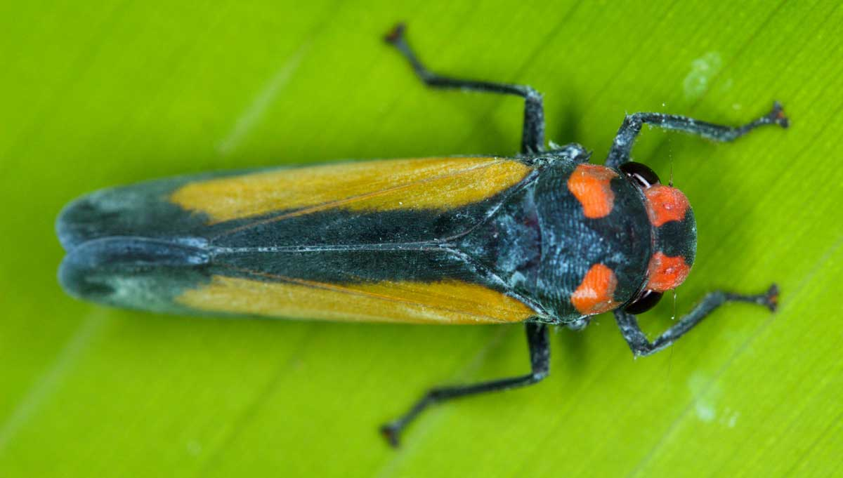 Leafhopper High Quality Background on Wallpapers Vista