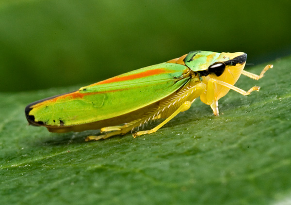 Leafhopper Pics, Animal Collection