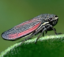 HD Quality Wallpaper   Collection: Animal, 216x192 Leafhopper