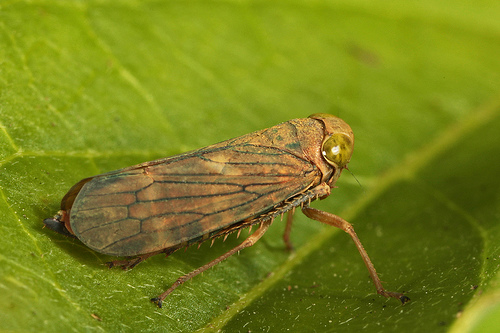 Nice wallpapers Leafhopper 500x333px