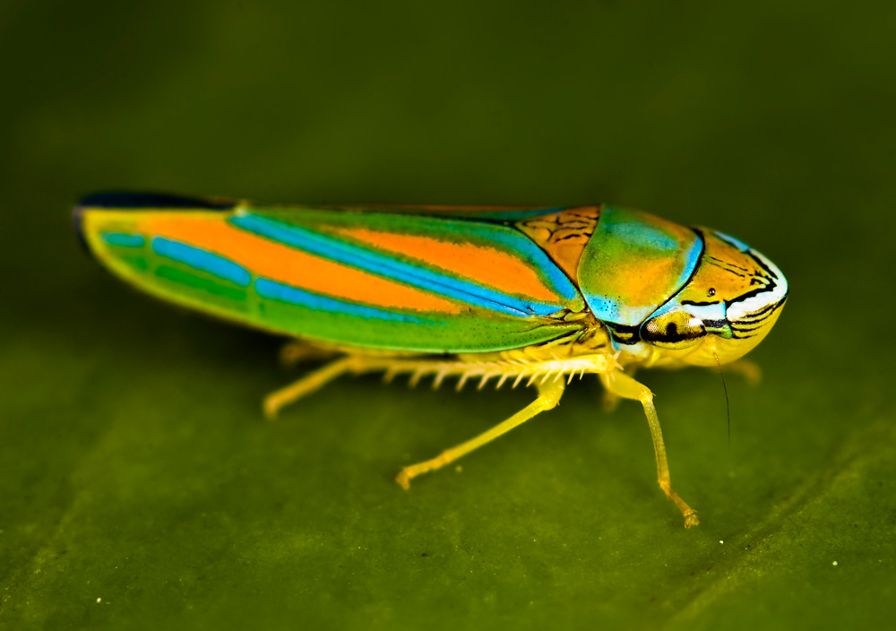 Nice Images Collection: Leafhopper Desktop Wallpapers