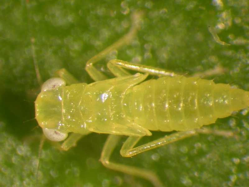 Images of Leafhopper   800x600