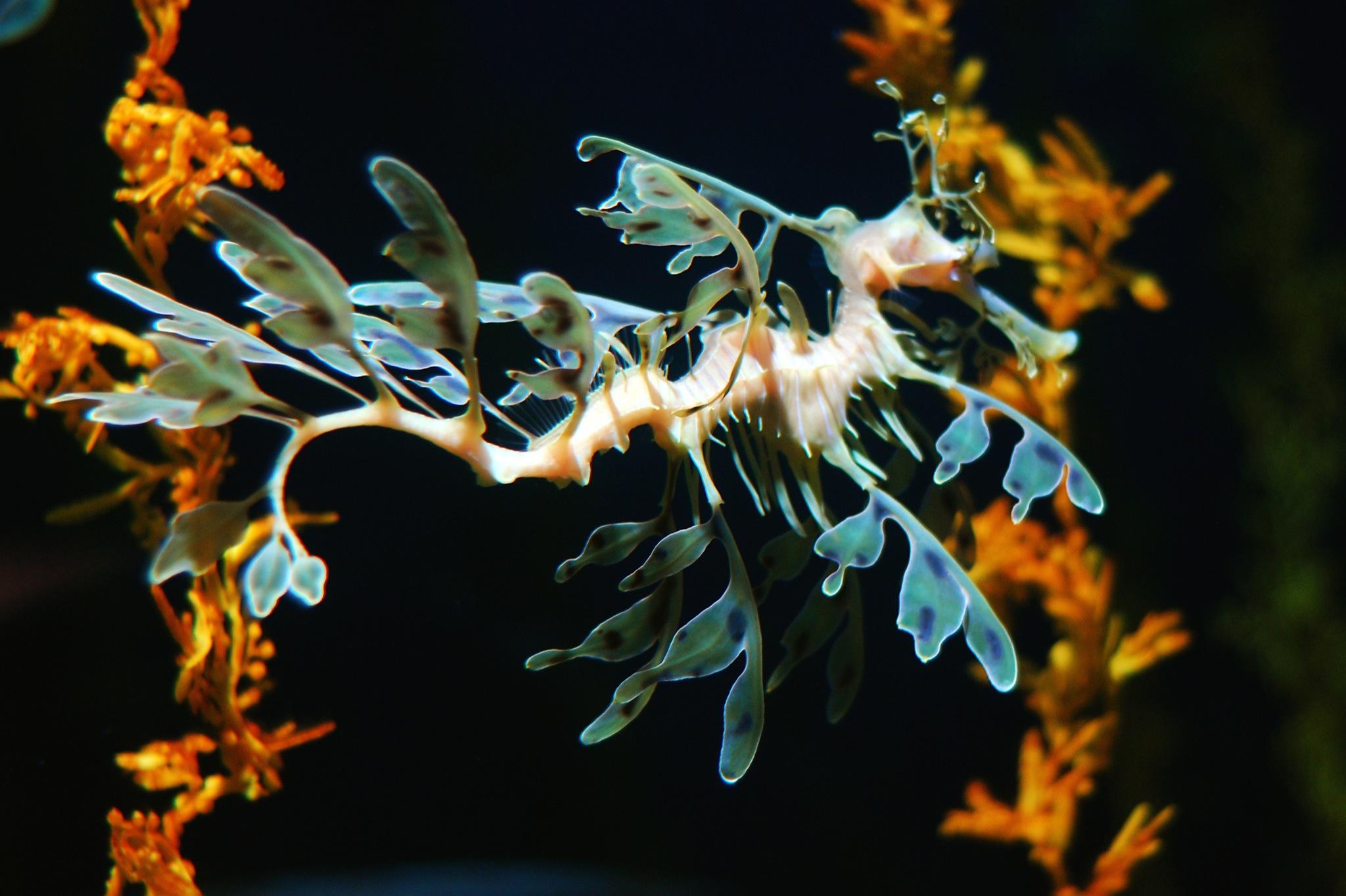 2048x1364 > Leafy Seadragon Wallpapers