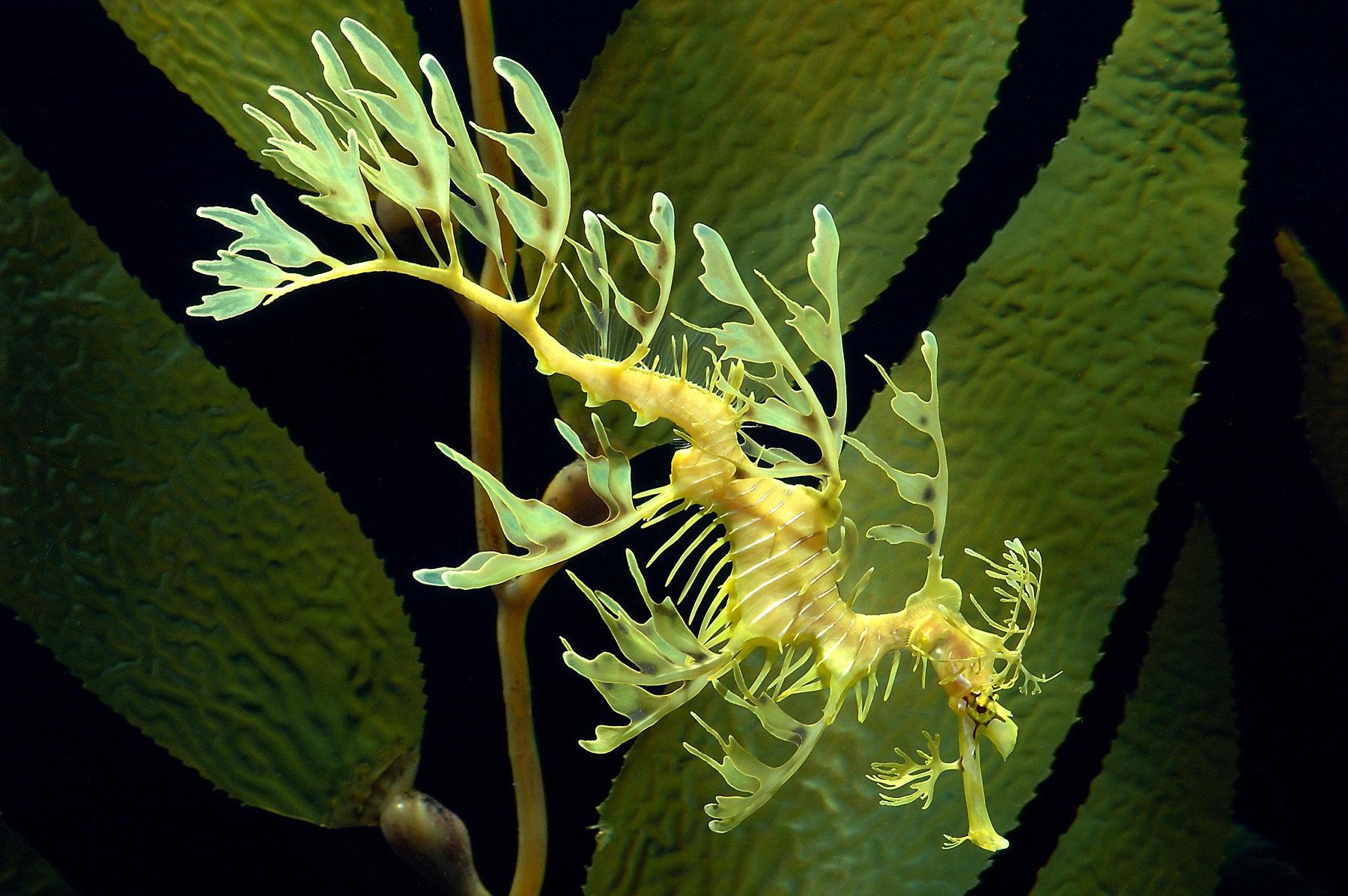Leafy Seadragon Pics, Animal Collection
