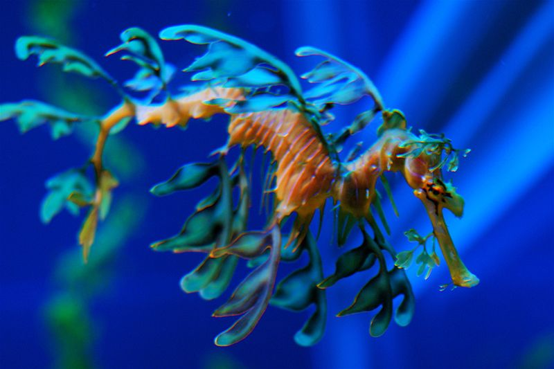 800x533 > Leafy Seadragon Wallpapers