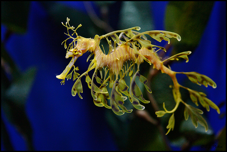 Leafy Seadragon Backgrounds on Wallpapers Vista
