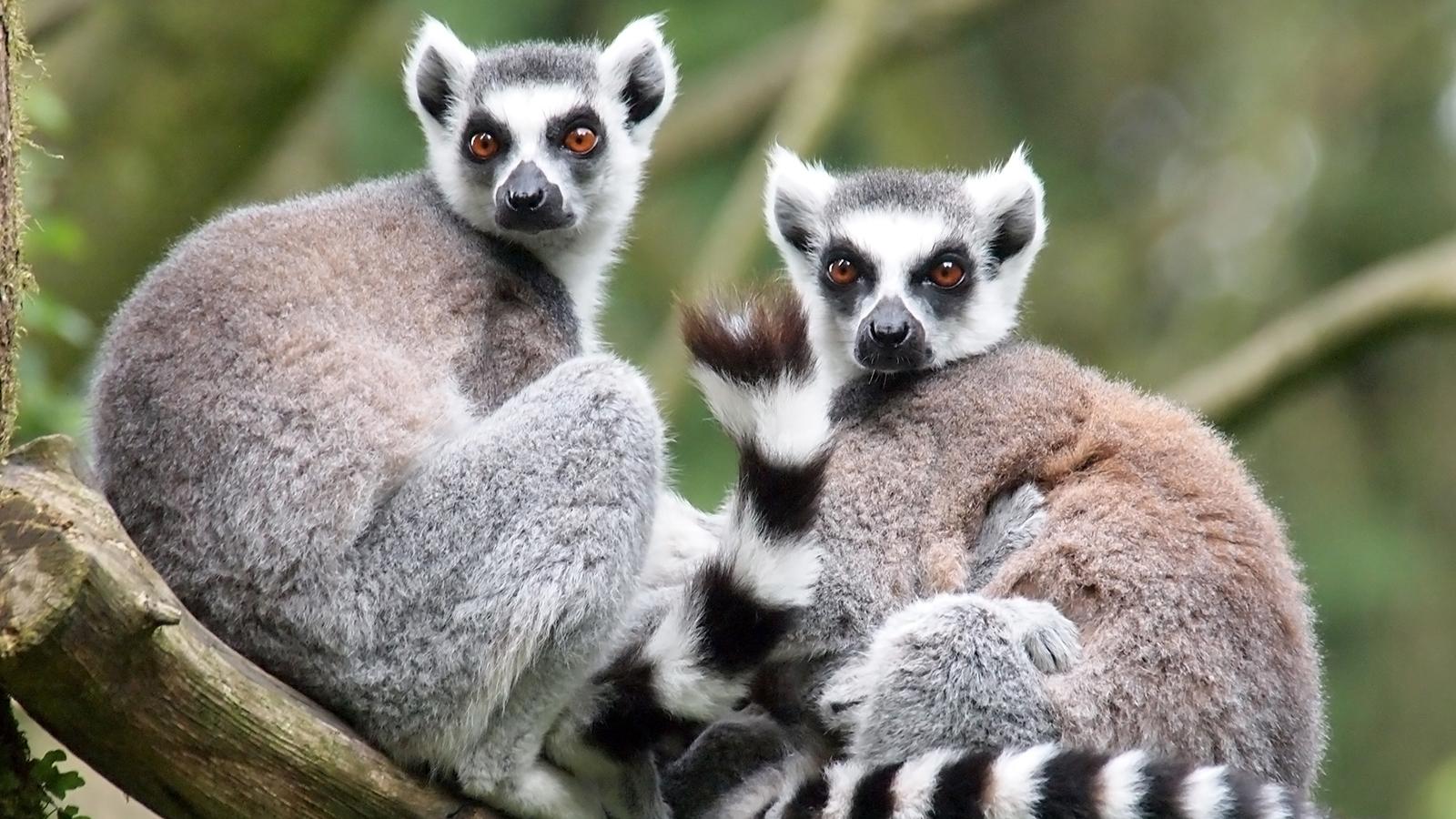 Lemur Pics, Animal Collection