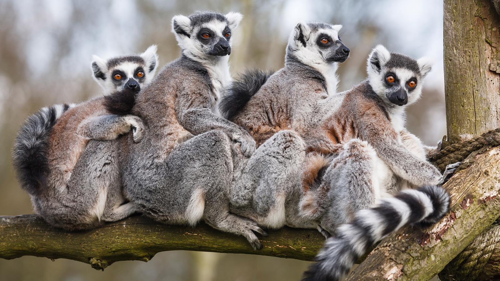 Lemur Backgrounds on Wallpapers Vista