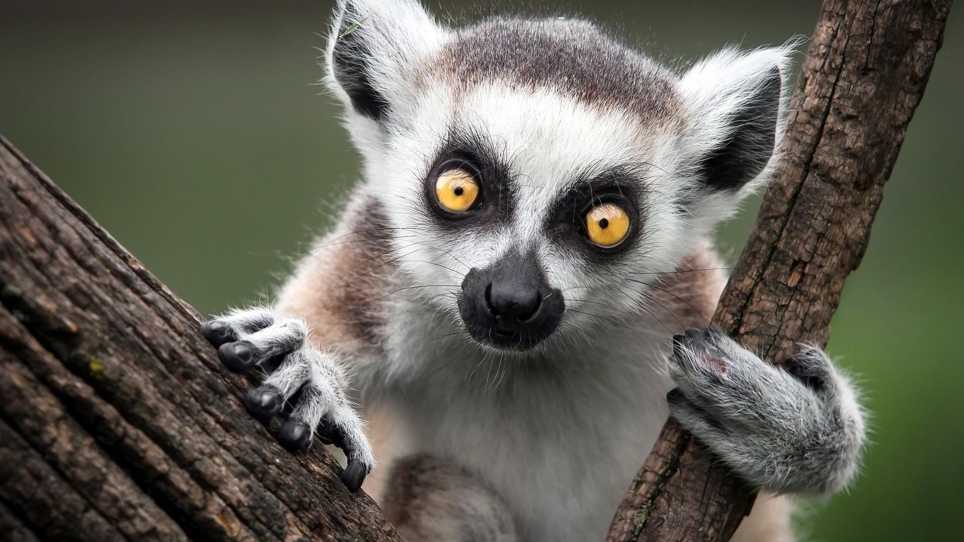 Images of Lemur   1920x1080