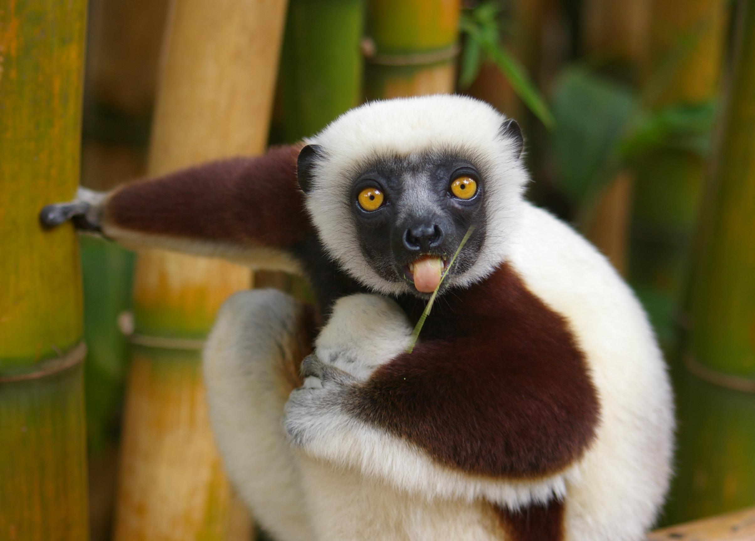 Amazing Lemur Pictures & Backgrounds