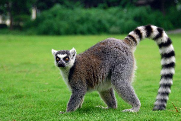 HD Quality Wallpaper   Collection: Animal, 600x401 Lemur