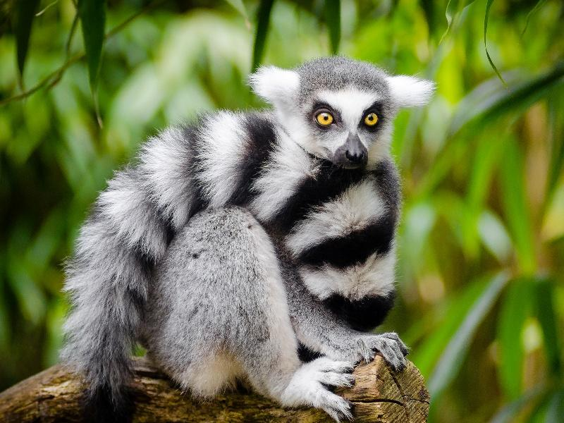 Lemur High Quality Background on Wallpapers Vista