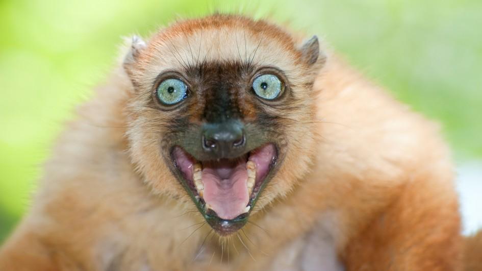 Lemur Backgrounds, Compatible - PC, Mobile, Gadgets  945x531 px