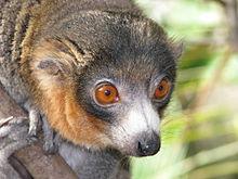High Resolution Wallpaper   Lemur 220x165 px