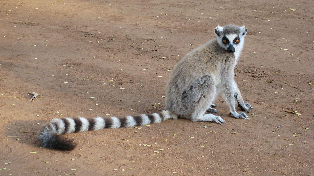 HQ Lemur Wallpapers   File 160.76Kb