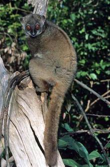 Nice Images Collection: Lemur Desktop Wallpapers