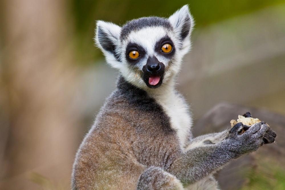 Lemur Backgrounds, Compatible - PC, Mobile, Gadgets  1000x667 px