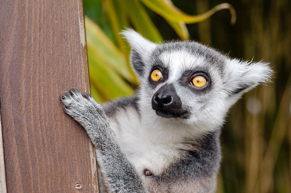 Images of Lemur   960x635