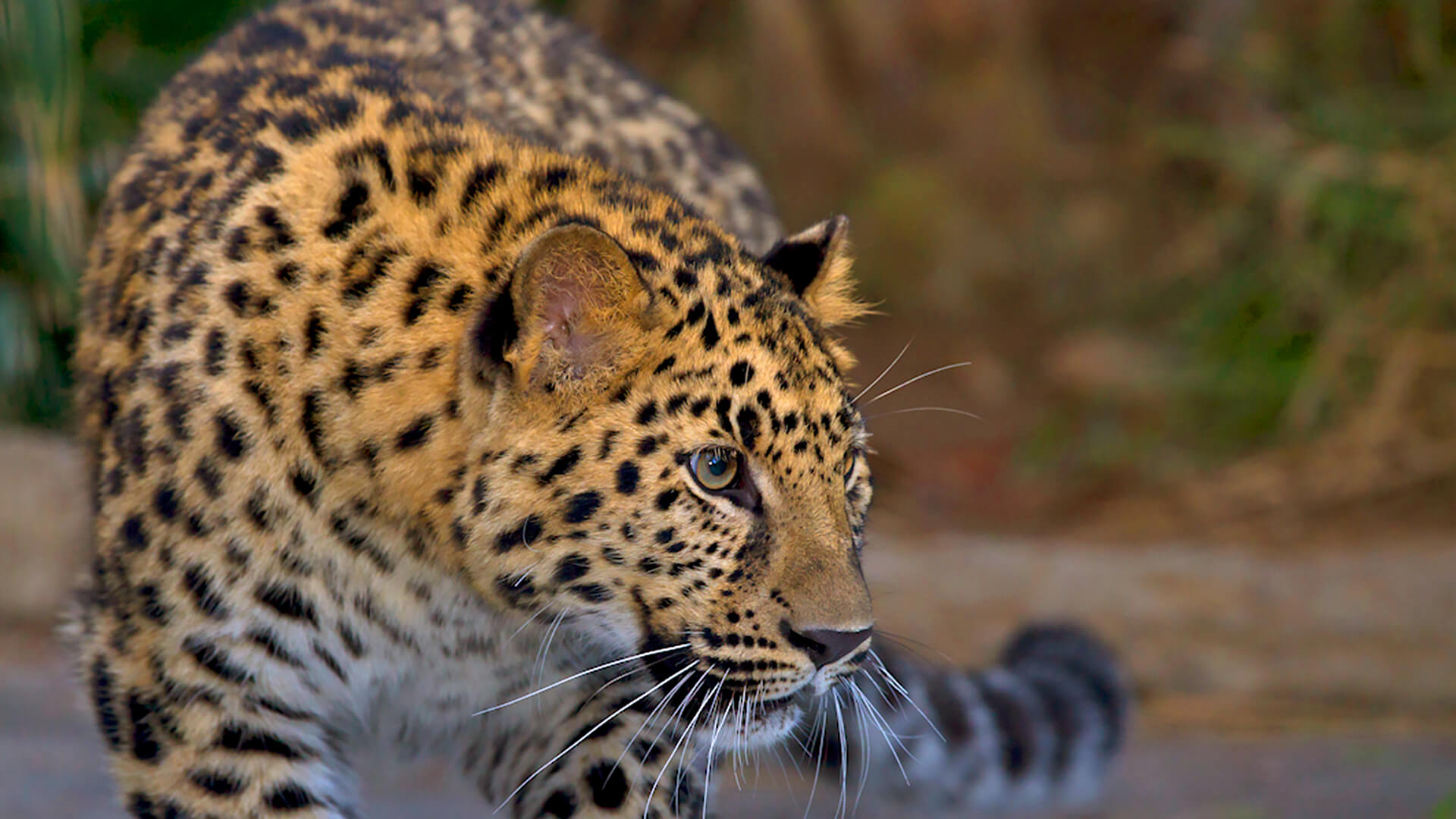 Images of Leopard | 1920x1080