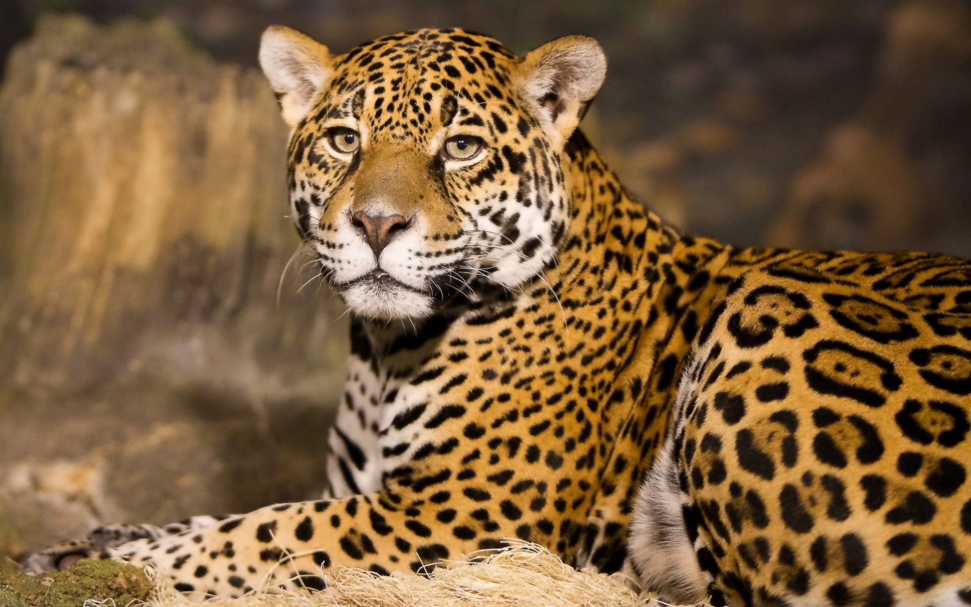 Leopard High Quality Background on Wallpapers Vista