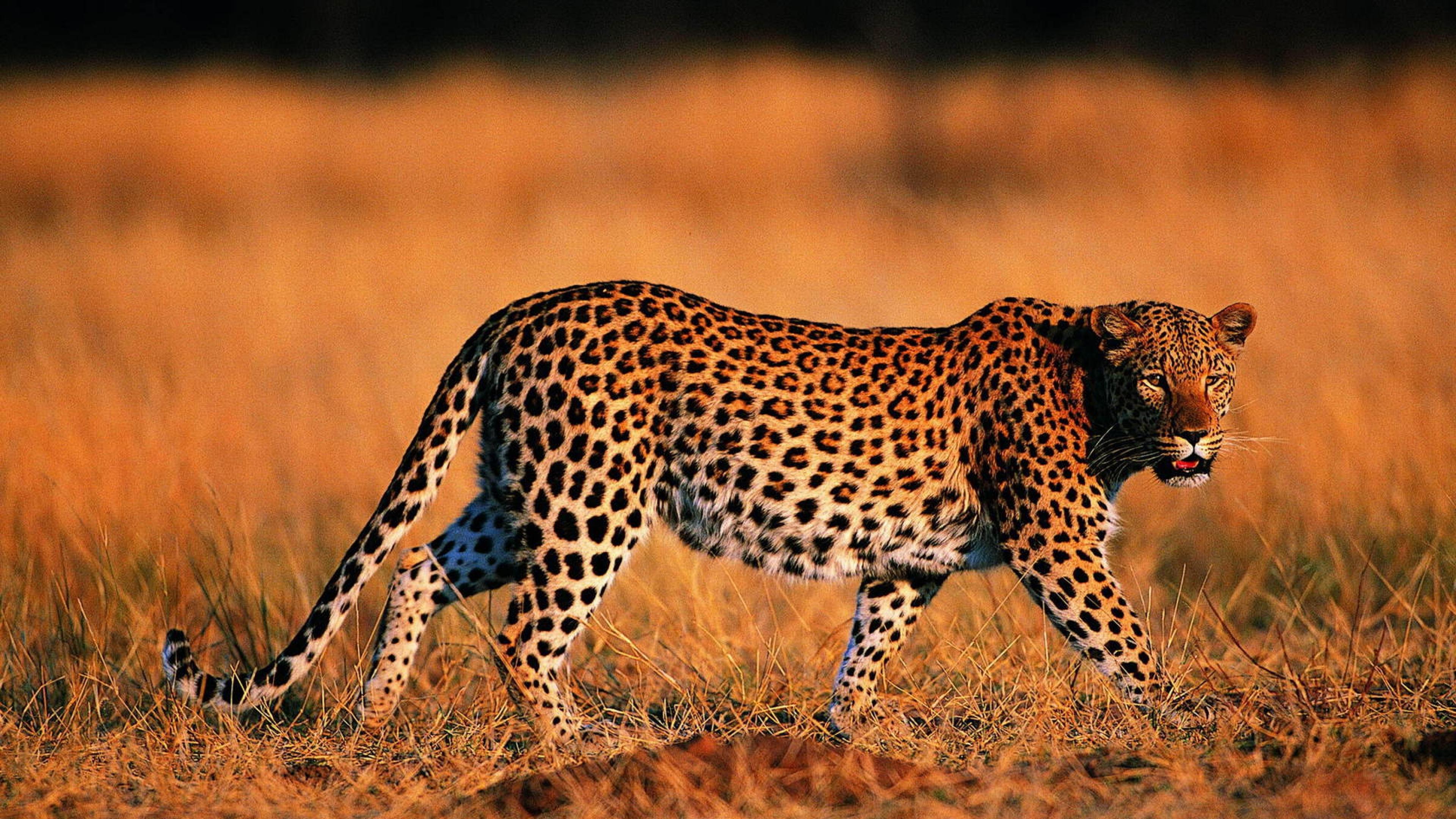 Leopard Backgrounds, Compatible - PC, Mobile, Gadgets| 3840x2160 px