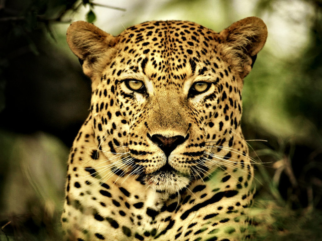 HQ Leopard Wallpapers | File 270.65Kb